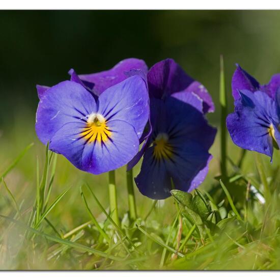 Viola purpurea subsp. dimorpha: Pflanze im Habitat Garten in der NatureSpots App