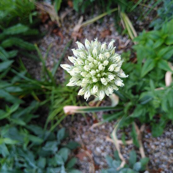Eine unbekannte Art: Pflanze im Habitat Hecke/Blumenbeet in der NatureSpots App
