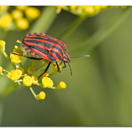 Graphosoma italicum: Animal in habitat Garden in the NatureSpots App