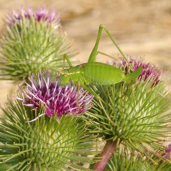 Speckled bush-cricket: Animal in habitat Crop cultivation in the NatureSpots App