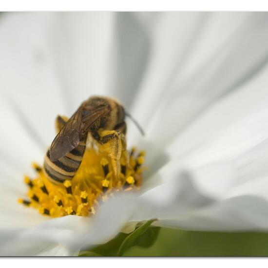 Halictus scabiosae: Animal in habitat Garden in the NatureSpots App