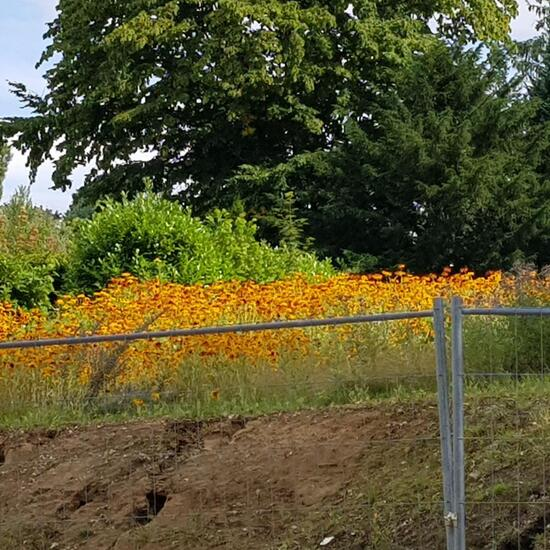Sunflower: Plant in habitat Road or Transportation in the NatureSpots App