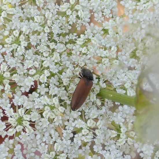 Athous haemorrhoidalis: Animal in habitat Crop cultivation in the NatureSpots App