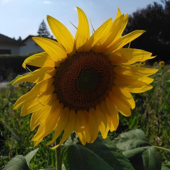Sonnenblume: Pflanze im Habitat Naturnahe Wiese in der NatureSpots App