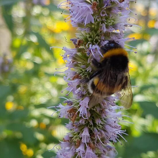 Bumble bee: Animal in habitat Flowerbed in the NatureSpots App