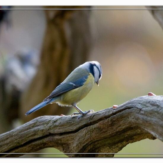 Cyanistes caeruleus: Animal in habitat Backyard in the NatureSpots App