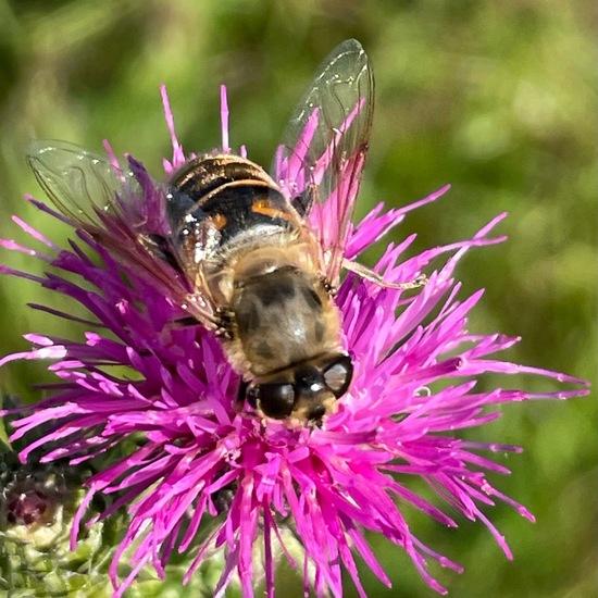 Eristalis tenax: Animal in habitat City and Urban in the NatureSpots App